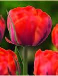 gefüllte Tulpe Queensday - 10 Stück