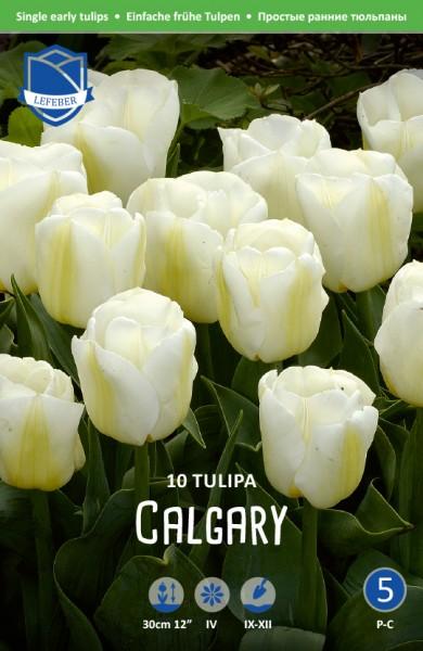Triumph Tulpe Calgary; - 10 Stück