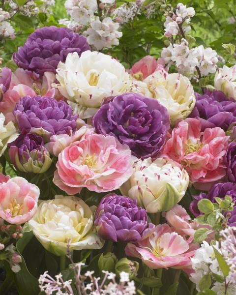 Pfingstrosen-Tulpen Romantic Surprise - 15 Stück
