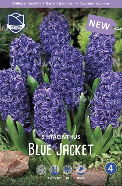 """Hyazinthe """"Blue Jacket"""" - 5 Stück"""