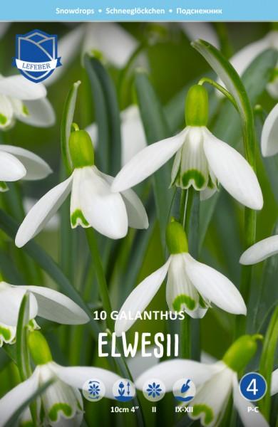 Schneeglöckchen - Galanthus elwesii 10 Stück